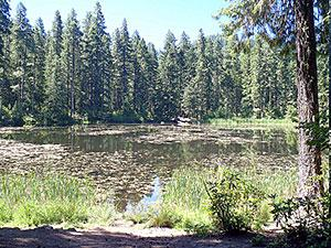The Lake of the Woods surrounded by tall pine trees