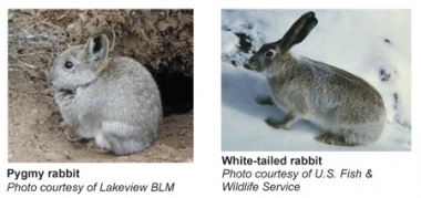Photos of a pygmy rabbit on the left and a white-tailed rabbit in the snow on the right