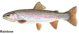 a drawn image of a rainbow trout