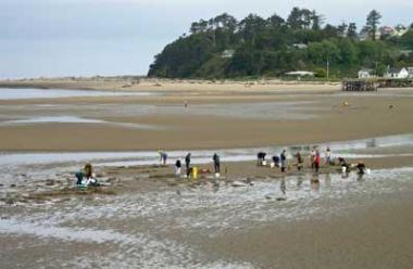 A group of people dig for clams on the beach at the Siletz River.