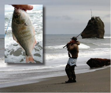 a photo of a man reeling in something on a surfperch rod and a second photo of the surfperch he caught.
