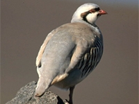 a chukar stands on a rock