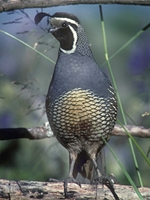 A valley quail. It is bluish=gray on the body with a scaled green pattern on the belly. The chin is black surrounded by a white outline. It has a black top knot drooping forward from the top of the head