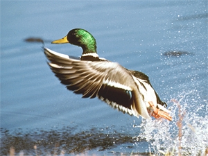 A male mallard duck takes flight from a pond
