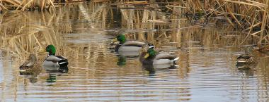 six mallard ducks swim together