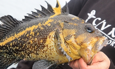 a person holds a china rockfish out of the water. The fish is black with yellow spots and a yellow lateral line stripe that extends up the second dorsal spine