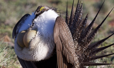 A male sage grouse puffs up its chest and fans out its tail. The bird is brown on the back, tail and wings and white on the chest. It has two yellow air sacks on it's chest that it puffs out.