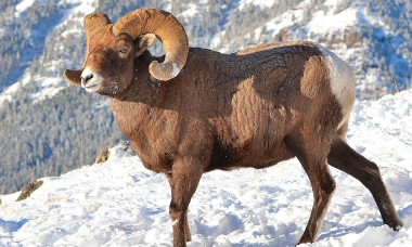 Bighorn sheep in snow