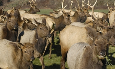 a herd of elk