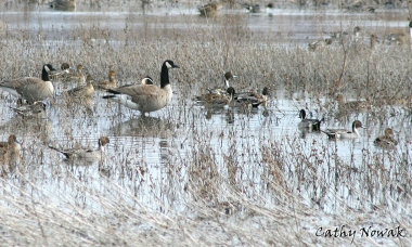 Pintail ducks and Canada geese on Ladd Marsh