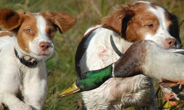 image of two spaniels retrieving a mallard duck