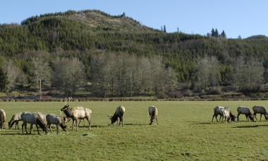image of a herd of grazing elk