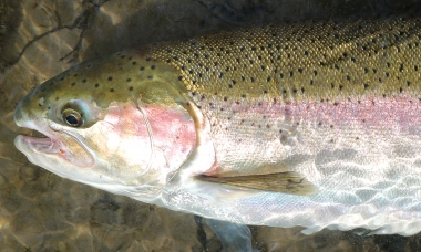 close up photo of a rainbow trout ready to be released