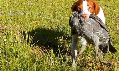 image of a hunting dog retrieving a shot grouse
