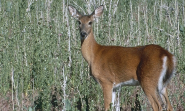 photo of a white-tailed deer doe standing in a shrubby field