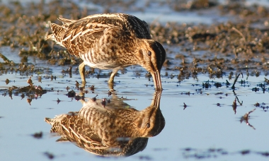 photo of Wilson's snipe using long bill to feed in mud