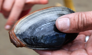 a person holds a softshell clam over the sand