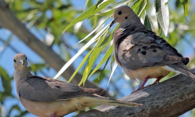 two mourning doves sit on a tree branch