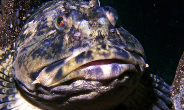a cabezon fish pokes its head out from between large rocks