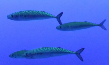 four Pacific mackerel swim by