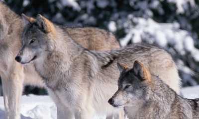 A pack of four wolves stands in the snow, all looking toward something out of the photo
