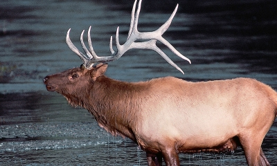 a bull elk stands in a body of water. It has large antlers and water running down its neck.