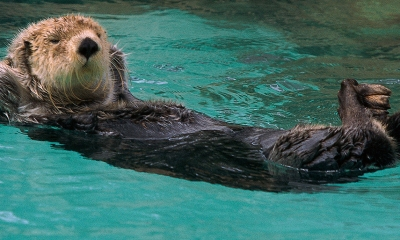 An otter floats on its back in a pool of water. Its front paws are behind its head and its back legs are crossed.