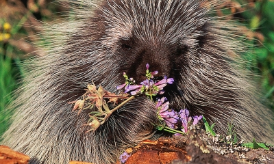 A porcupine eats some wildflowers.