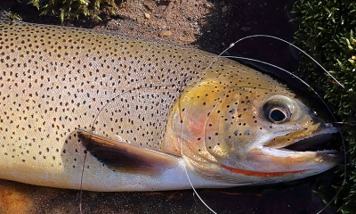 a cutthroat trout lays on the bank of a river. There is fishing line coiled next to the fish.