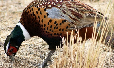 male ring-necked pheasant pecking the ground