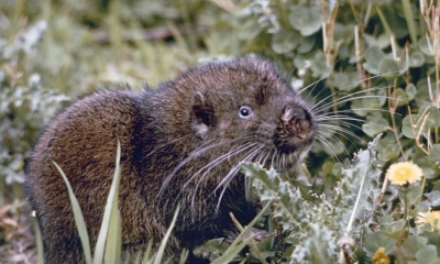 A mountain beaver stands in some grass. The creature has a brown body, tiny eyes and white whiskers.