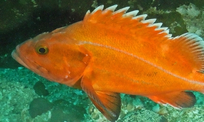 A yelloweye rockfish underwater. The fish is bright orange with yellow eyes and lateral line
