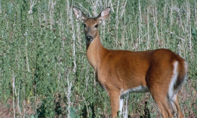 a Columbia white-tailed doe looks toward the camera
