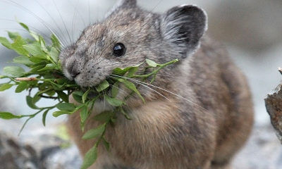 A pika with huckleberry branches in its mouth stands amongst large gray rocks
