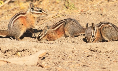 Three yellow pine chipmunks dig in sandy soil