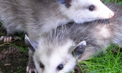 two juvenile opossums