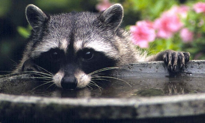 A raccoon peaks over the top of a cement bird bath.