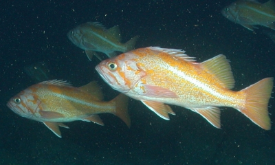 four canary rockfish