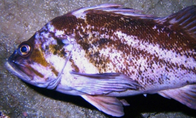 A swimming copper rockfish. The fish is white and copper colored