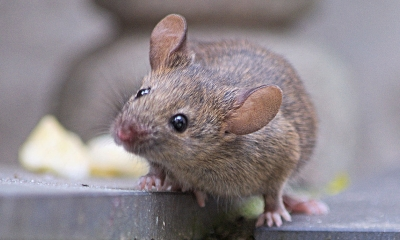 a mouse stands on uneven ground with its head tilted slightly