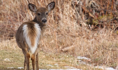 a northwest white-tailed deer looks over its shoulder at the camera