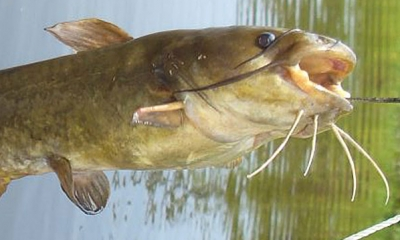 Yellow bullhead catfish