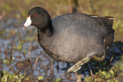 American coot walking in a wetland