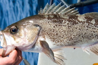 a person holds a black rockfish