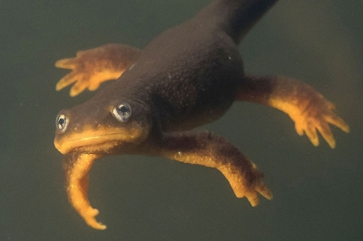 Rough-skinned newt underwater looks into the camera