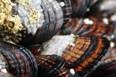a close up on a group of mussels