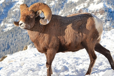 a male bighorn sheep in the snow
