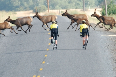 two road cyclists pause to let a herd of elk cross the street ahead of them