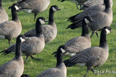 hunting the northwest goose permit zone oregon department of fish