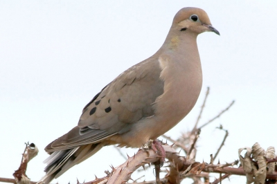 How to hunt mourning dove | Oregon Department of Fish & Wildlife